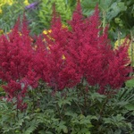 Astilbe × Arendsii 'Astary Red'
