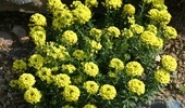 Alyssum Montanum 'Mountain Gold'
