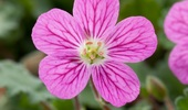 Erodium Variabile Bishop's Form