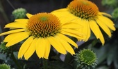 Echinacea 'Sombrero Lemon Yellow'