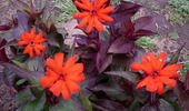 Lychnis × Arkwrightii 'Orange Zwerg'