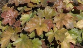 Heuchera × Hybrida 'Carnival Coffee Bean'