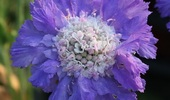 Scabiosa Caucasica 'Isaac House Hybrids'
