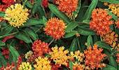 Asclepias Tuberosa 'Gay Butterflies Mixture'